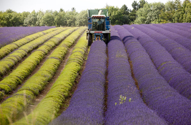 Lavender harvest aims to beat change in weather by Adam Gasson