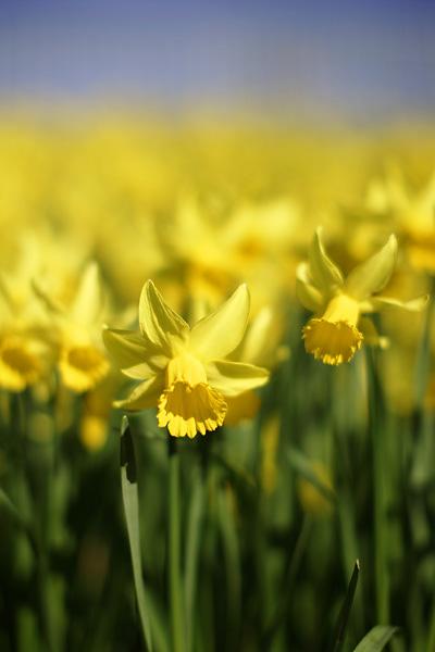 Daffodils in Cardiff by Adam Gasson