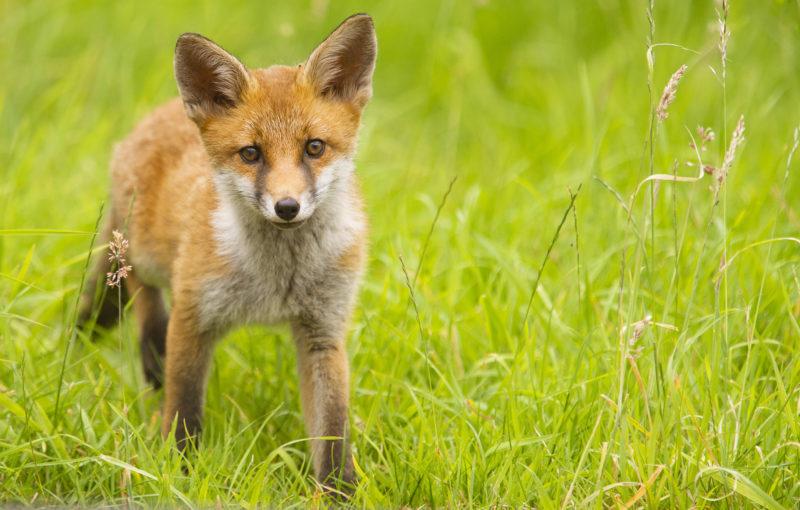 Urban fox cub. Photo by Adam Gasson / adamgasson.com